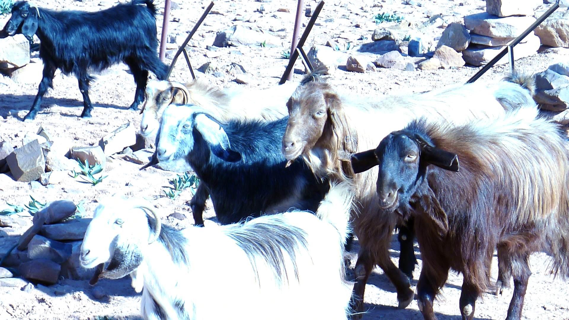 山羊与毛驴简笔画整体
