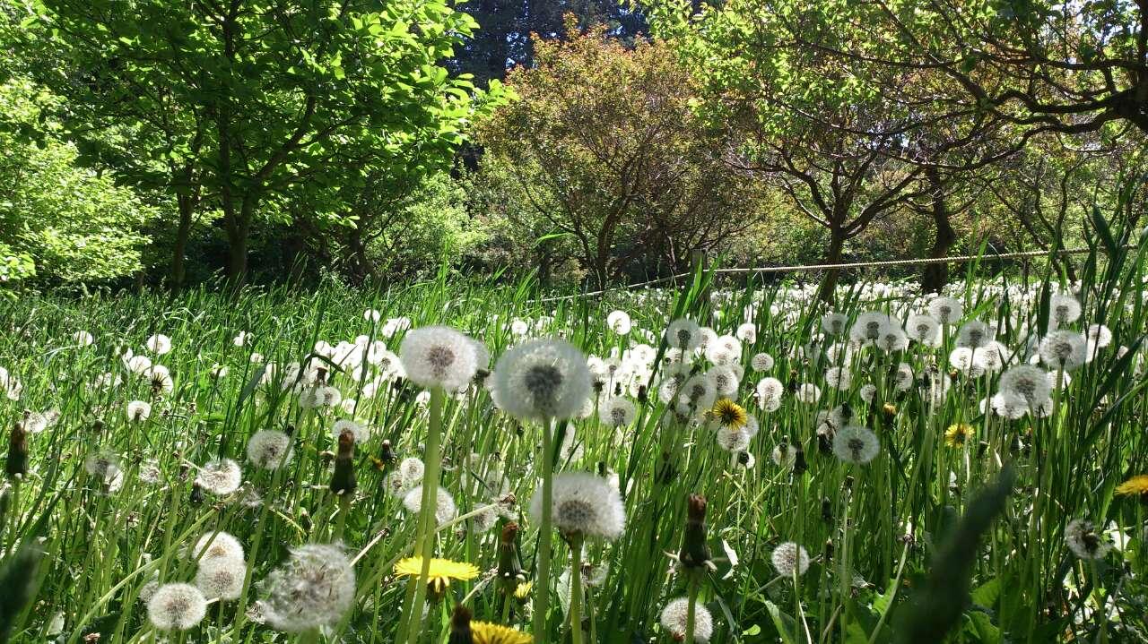 札幌圆山公园樱花