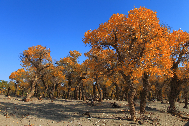 额济纳旗胡杨林国家级自然保护区 千年传说 漠中胡杨 额济高清图片