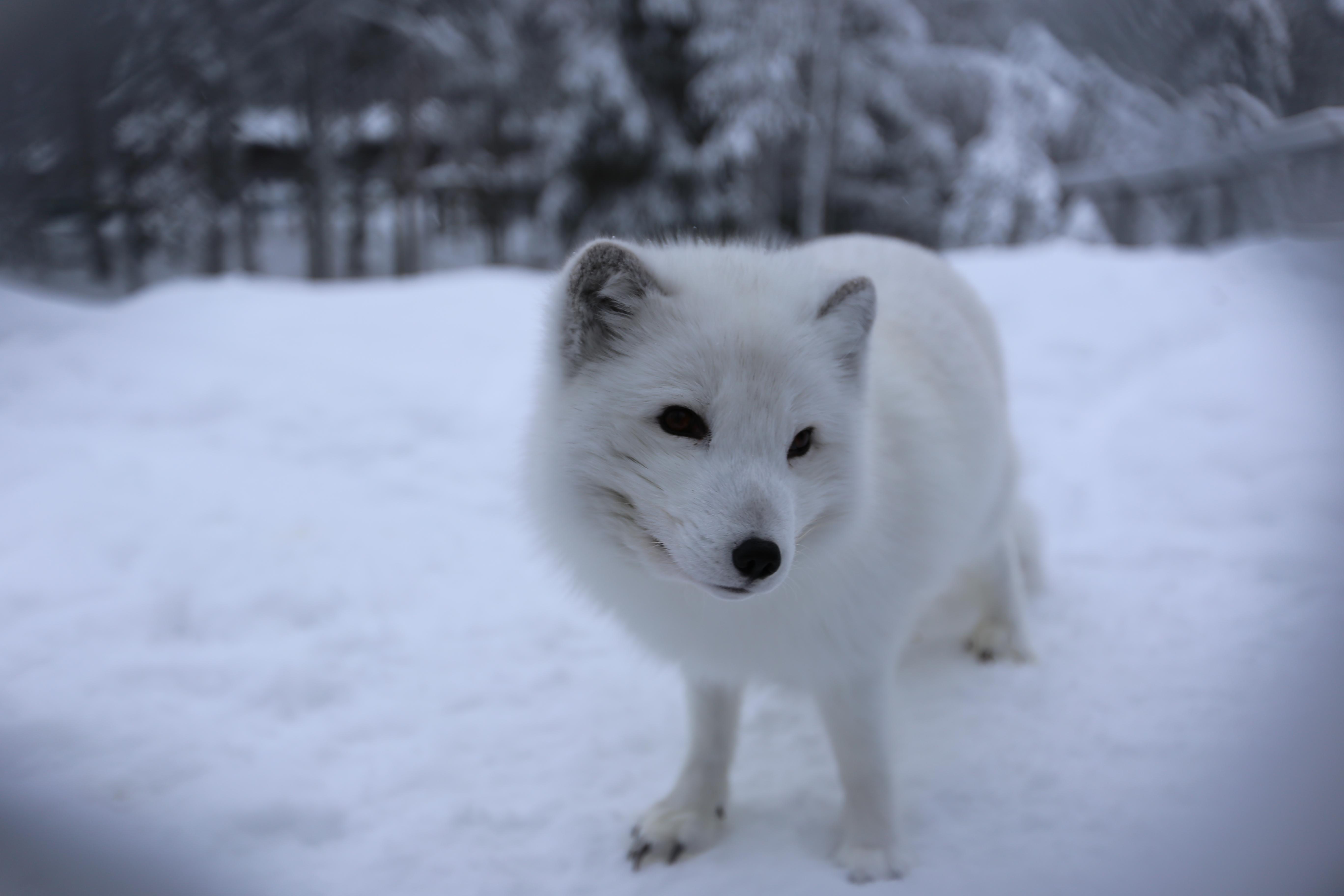 北极狐图片