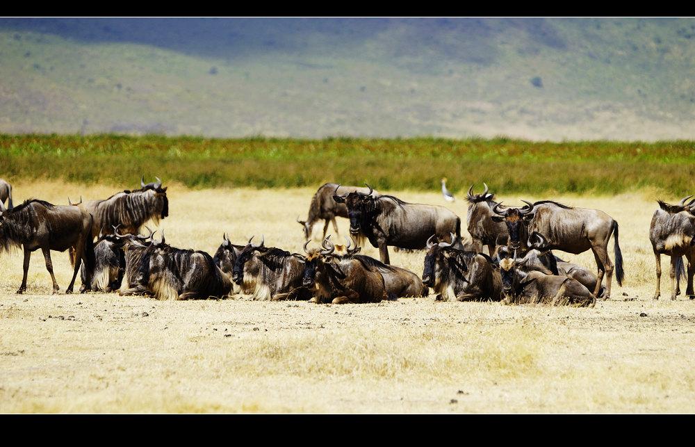 非洲三大兽,这里最多的动物是斑马和角马