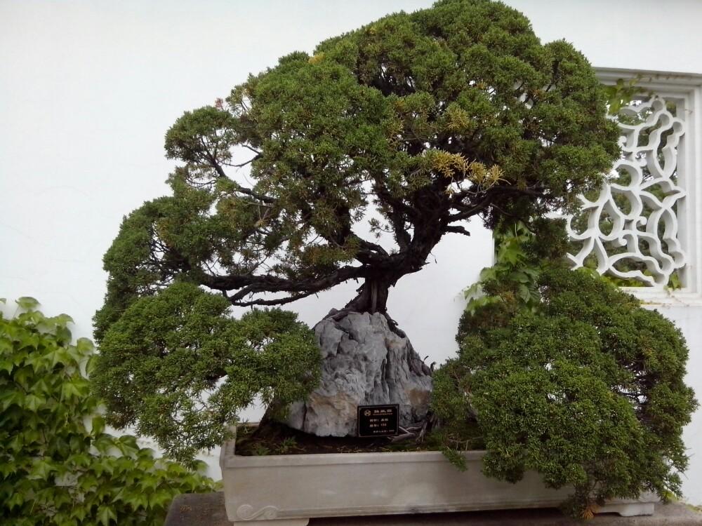 盆景 盆栽 树 松 松树 植物 1000_750