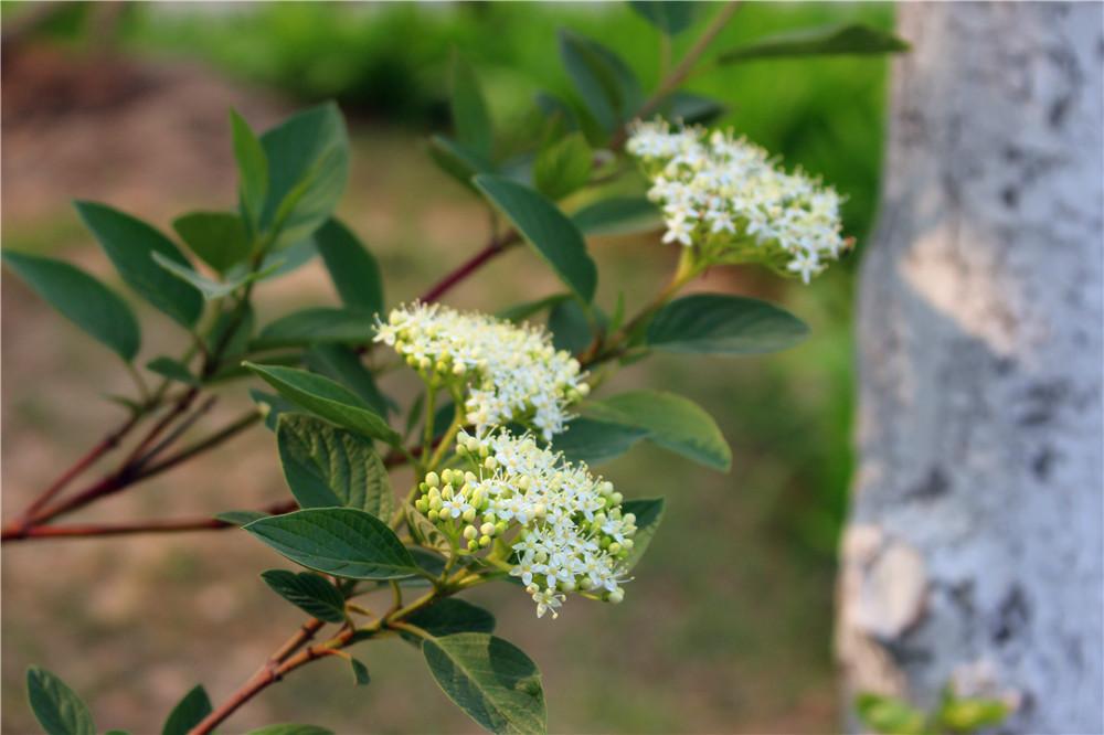 春天里的花朵----红瑞木