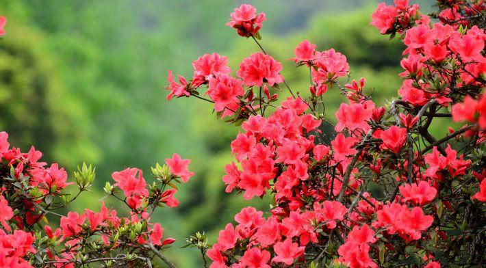 百里杜鹃风景区位于贵州省黔西