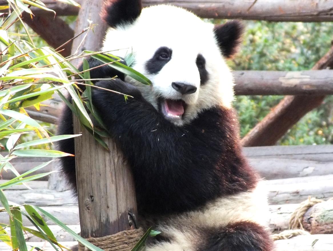 熊猫幼稚园的幼崽