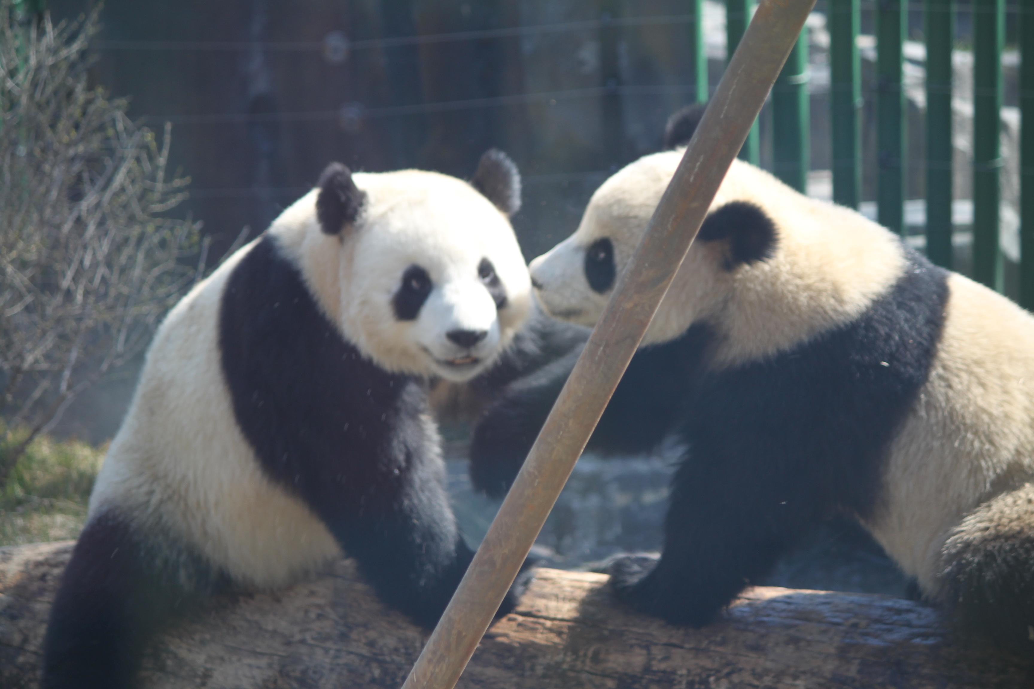 大连森林动物园 熊猫_大连森林动物园 熊猫分享展示