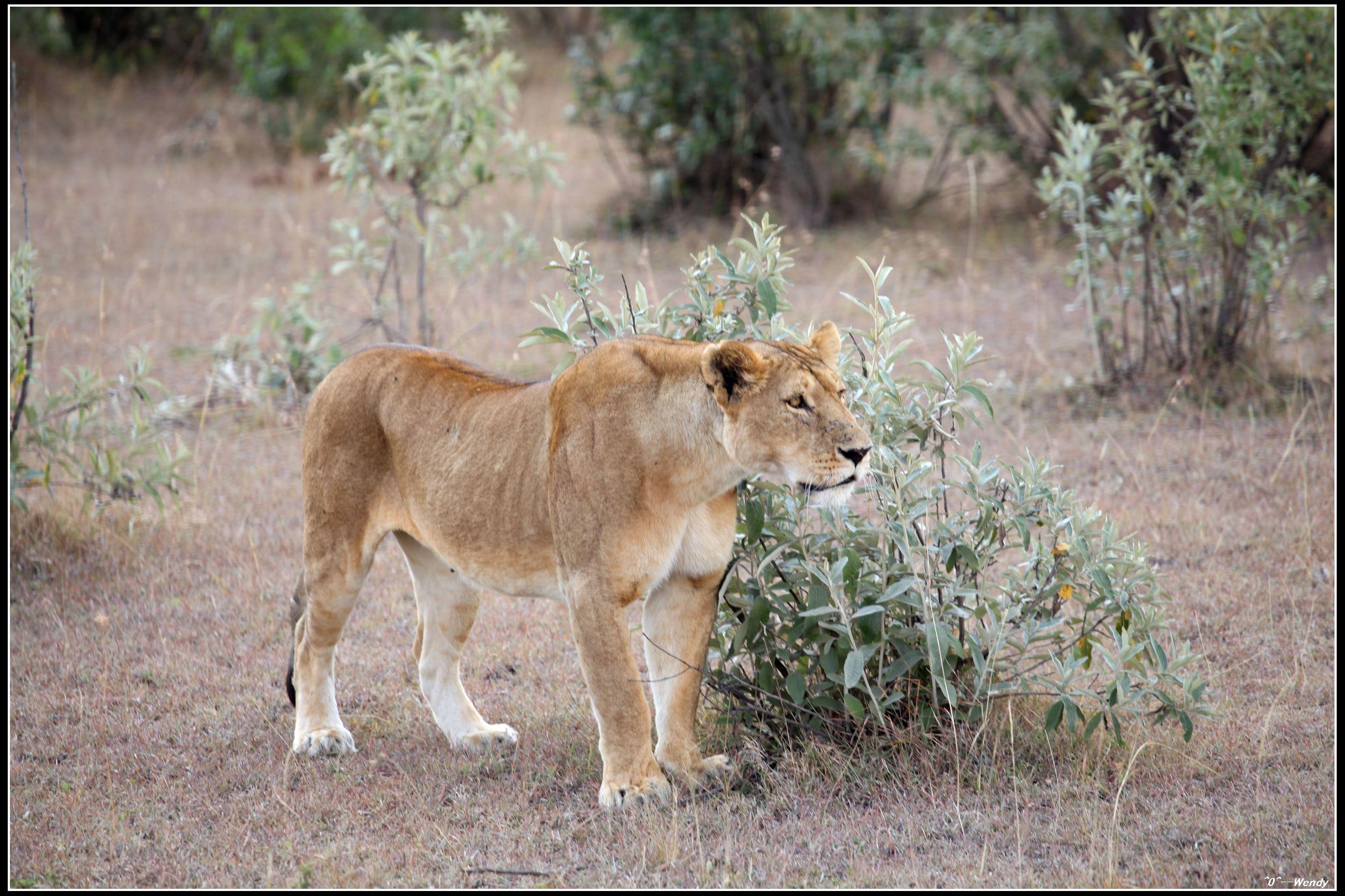 东非:超级肯尼亚,走进动物世界 - 马赛马拉国家公园
