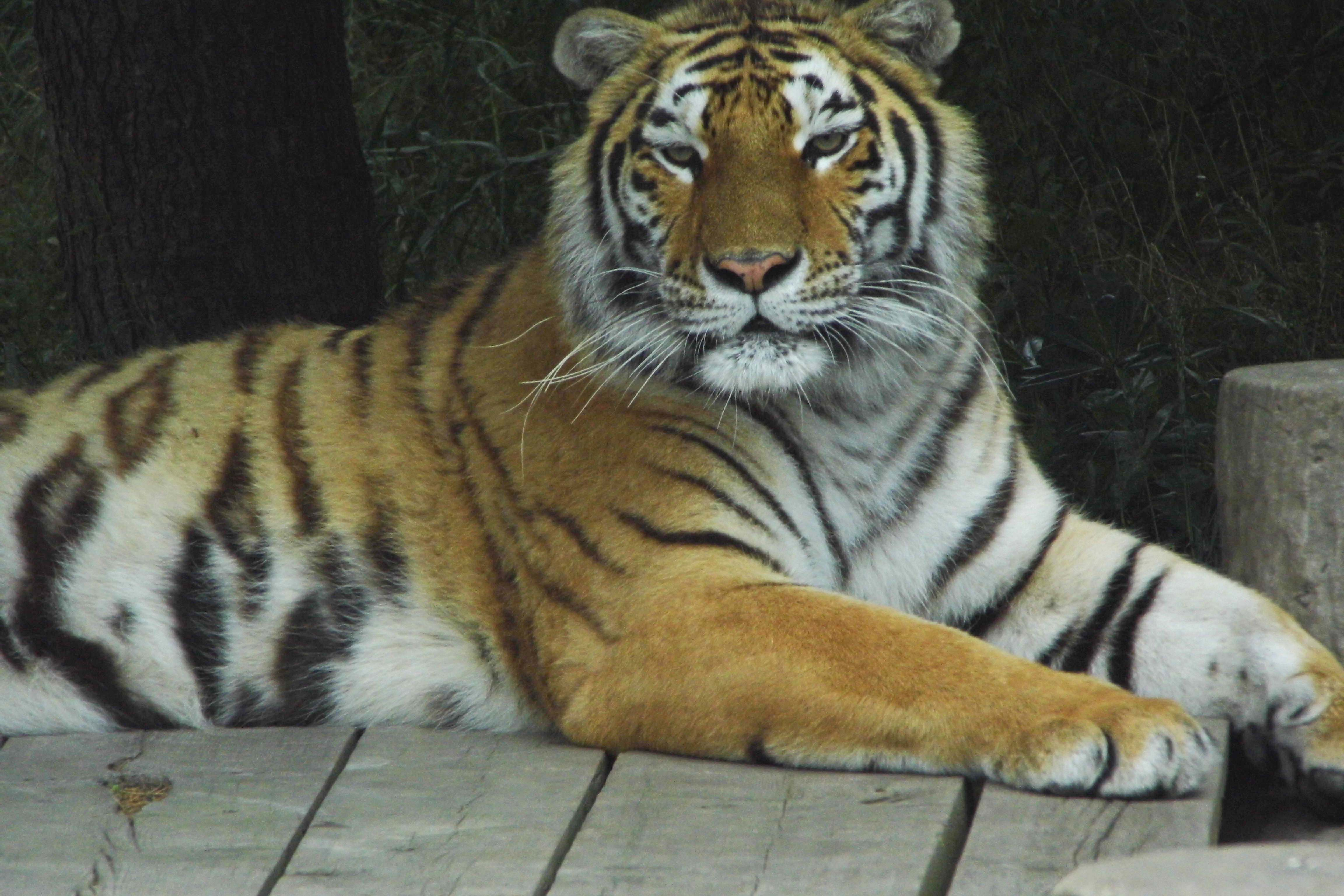 上海野生动物园,国家级野生动物园,占地153公顷。园内汇集了世界各地具有代表性的珍稀动物200余种上万余头(只),拥有我国一级保护动物:大熊猫、金丝猴、华南虎、亚洲象、朱鹮等。整个园区分为食草动物放养区、食肉动物放养区、火烈鸟区、散养动物区、水禽湖和珍稀动物圈养区、百鸟园、蝴蝶园及儿童宠物园,并设有动物表演等许多特色节目。