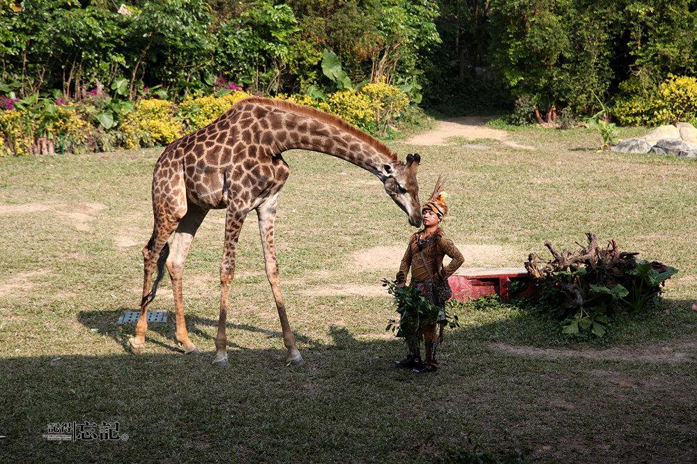 动物表演,非洲动物表演