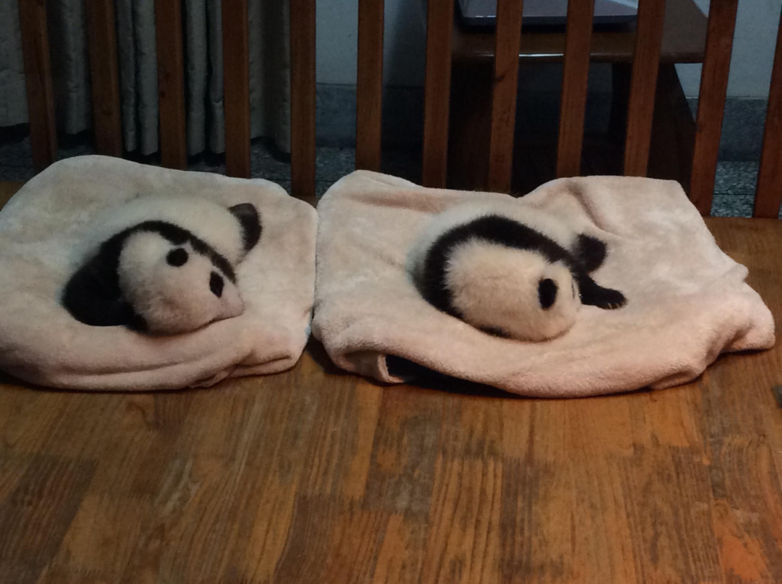 大熊猫就在眼前,吃竹子时懒懒的样子,趴在木栏杆上睡觉的样子,还有爬