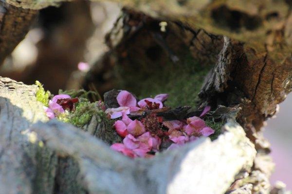 梅花花瓣飘落在枯干中