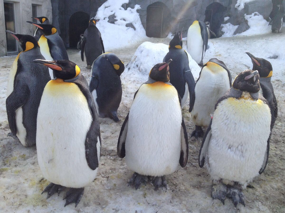 等待散步的企鹅