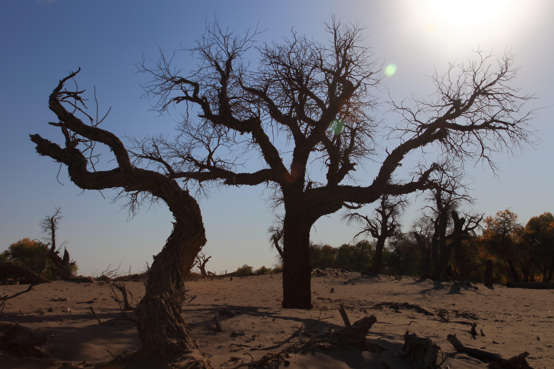 额济纳旗胡杨林国家级自然保护区 千年传说 漠中胡杨 额济纳