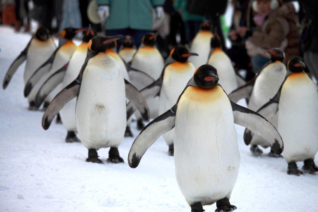 11点重头戏企鹅散步开始啦