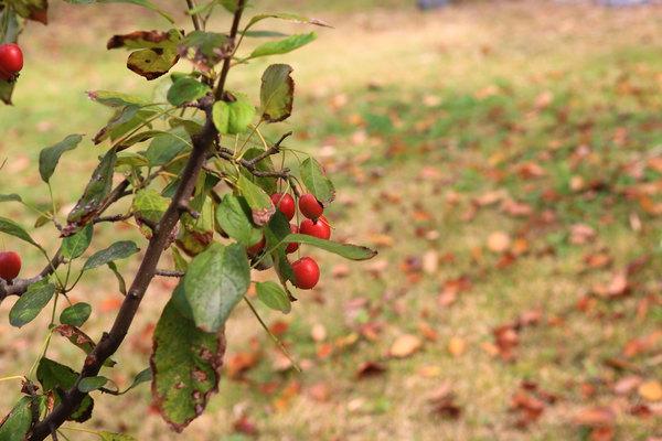 这可是棵苹果树哦,果子非常的酸涩呀