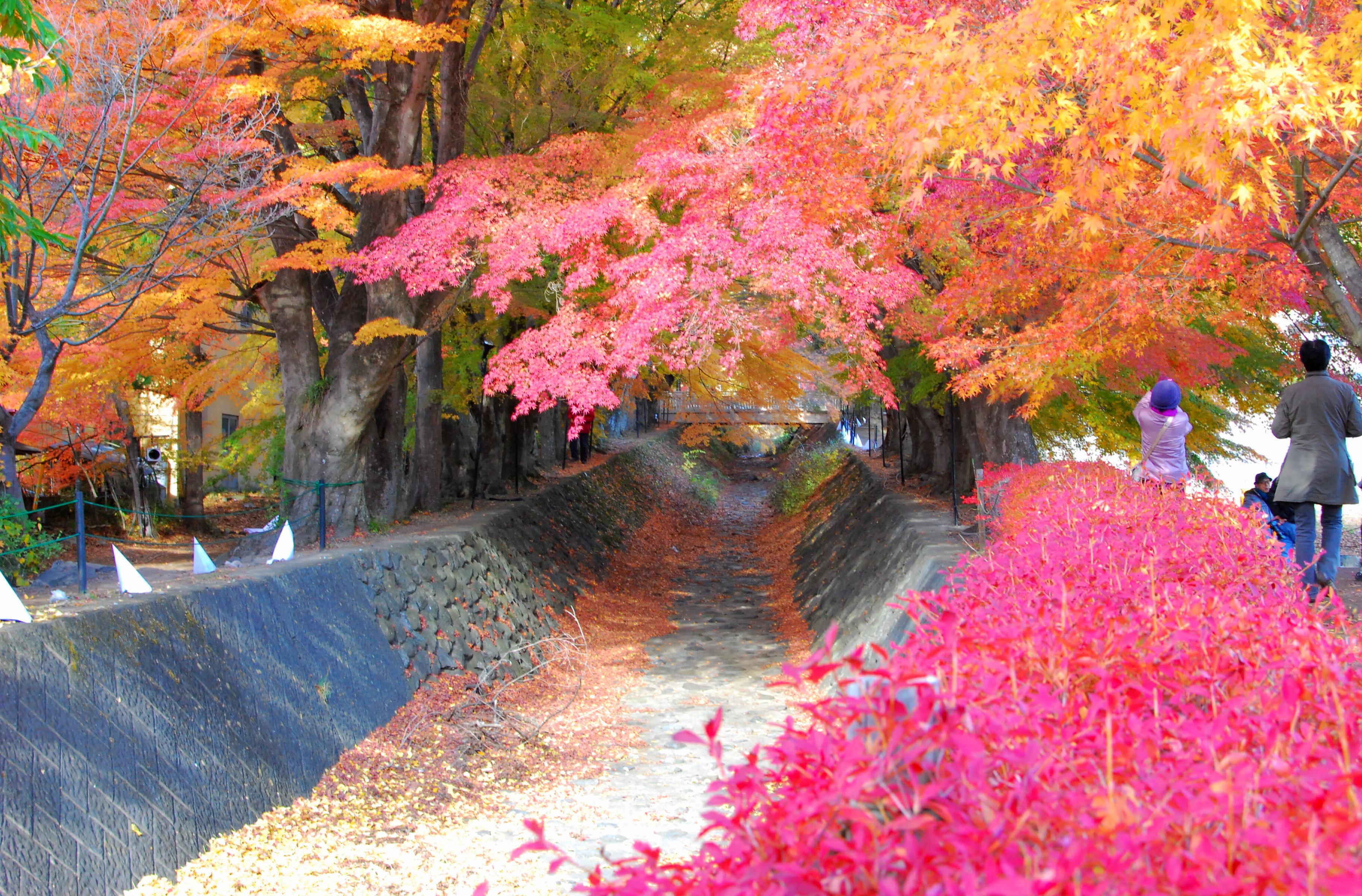 河口湖红叶回廊 梨川红叶回廊中有很多大棵大棵的枫叶树,他们组成了图片