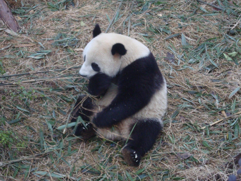 想到成都旅游,第一站肯定是看大熊猫。不愧是大熊猫的故乡,大街小巷都是熊猫的玩偶,连繁华的太古里IFS顶楼都爬着一只大熊猫。 因为是自由行,反复研究了大家的点评,将本来周六去的计划改到了周一,事实证明是明智的。虽然周末不及国庆那般疯狂,但我们周一逛完出来,接车师傅说前两天周末人数至少是周一的5倍。 成都的景区直通车很方便,有从不同地方出发去大熊猫基地的。但是看评论大家说要赶早,我琢磨着从酒店要很早出门,赶8点从宽窄出发的一趟,还不如从酒店直接约车出发,节省时间。如果您是携程的老用户,会有很多优惠券,直接叫车