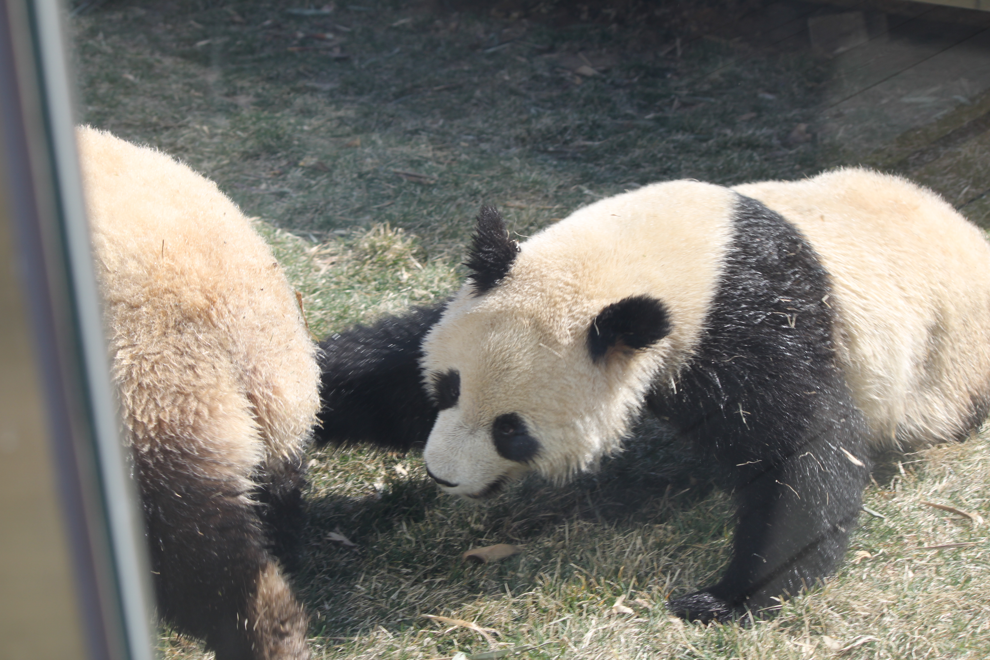 武林萌主大熊猫【取景于大连森林动物园熊猫馆】 - 【