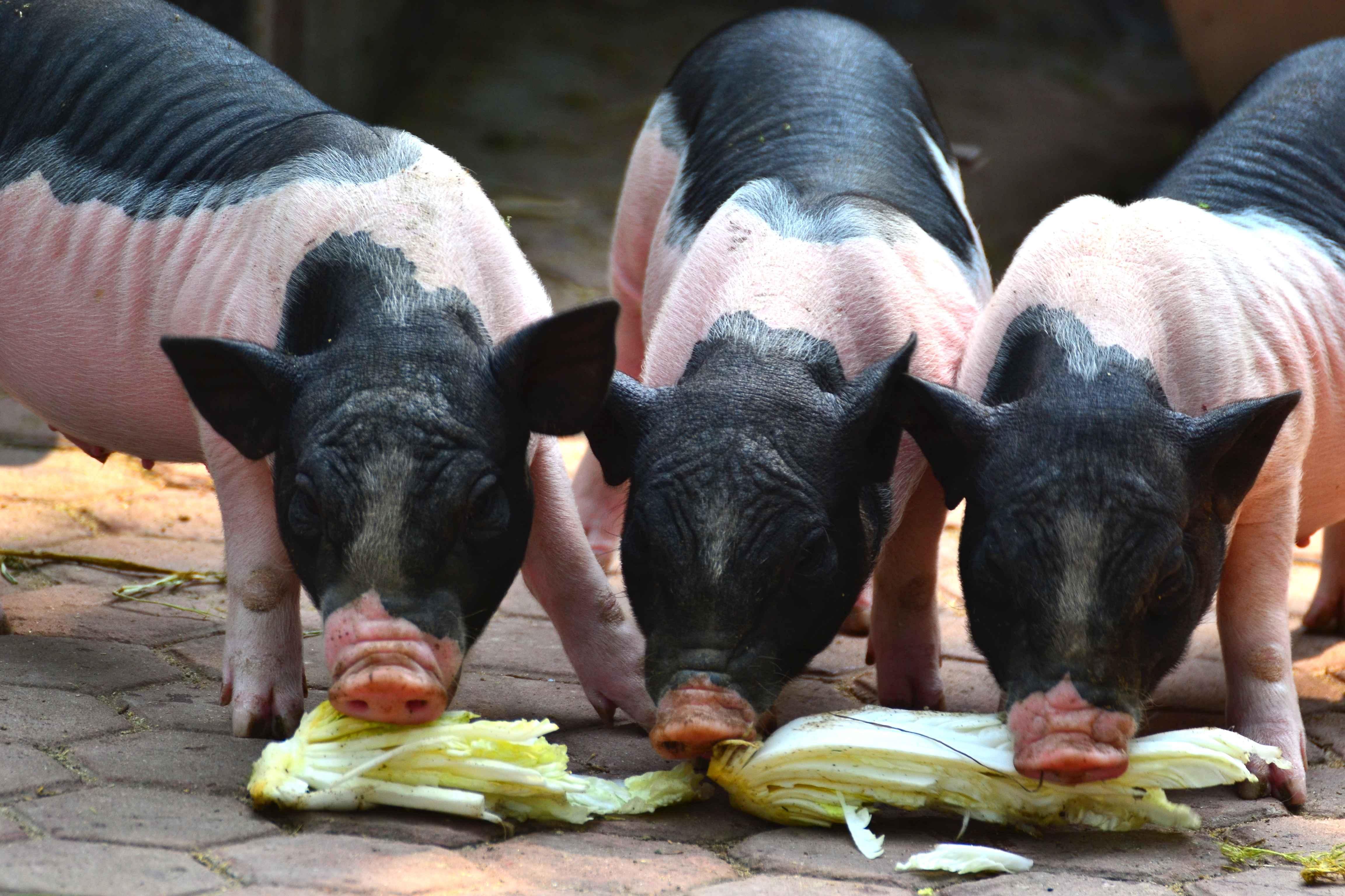 三只小猪抢大白菜