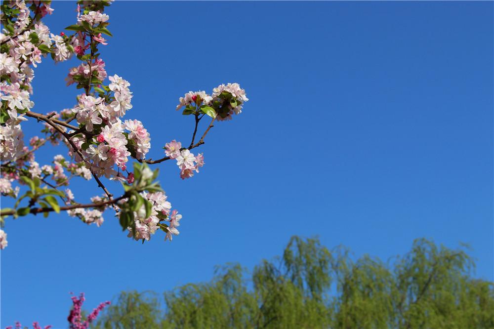 每年的春天,元大都公园都要举办海棠花节