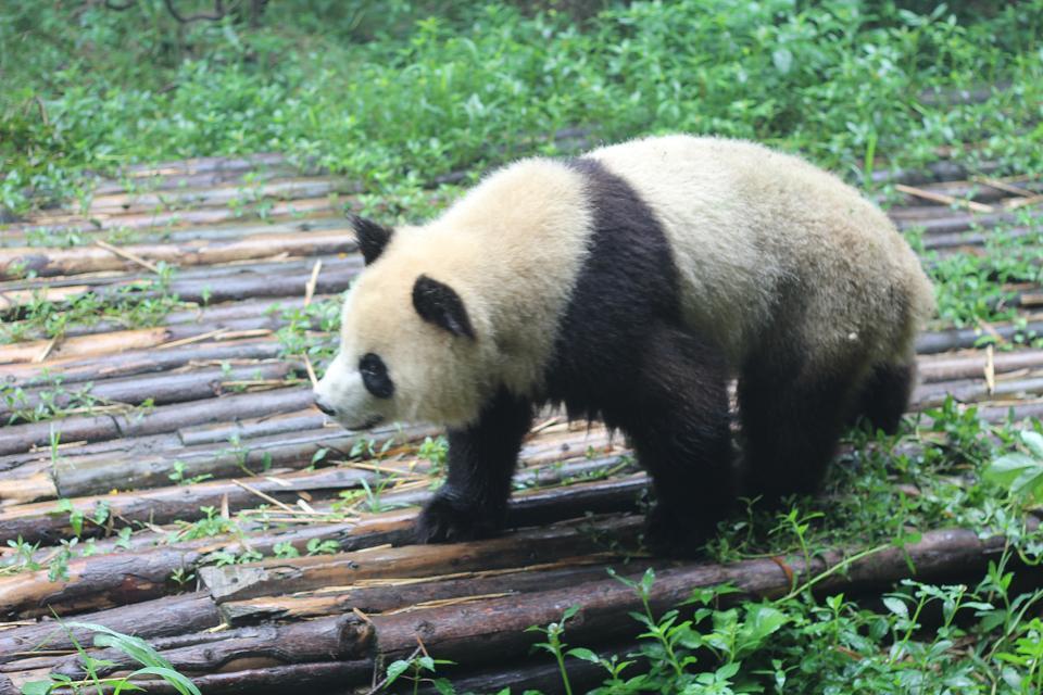成都大熊猫繁育基地,成都成都大熊猫繁育基地攻略