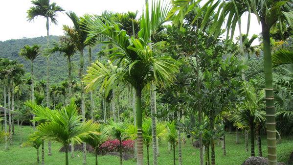 路旁的棕榈树和椰子树