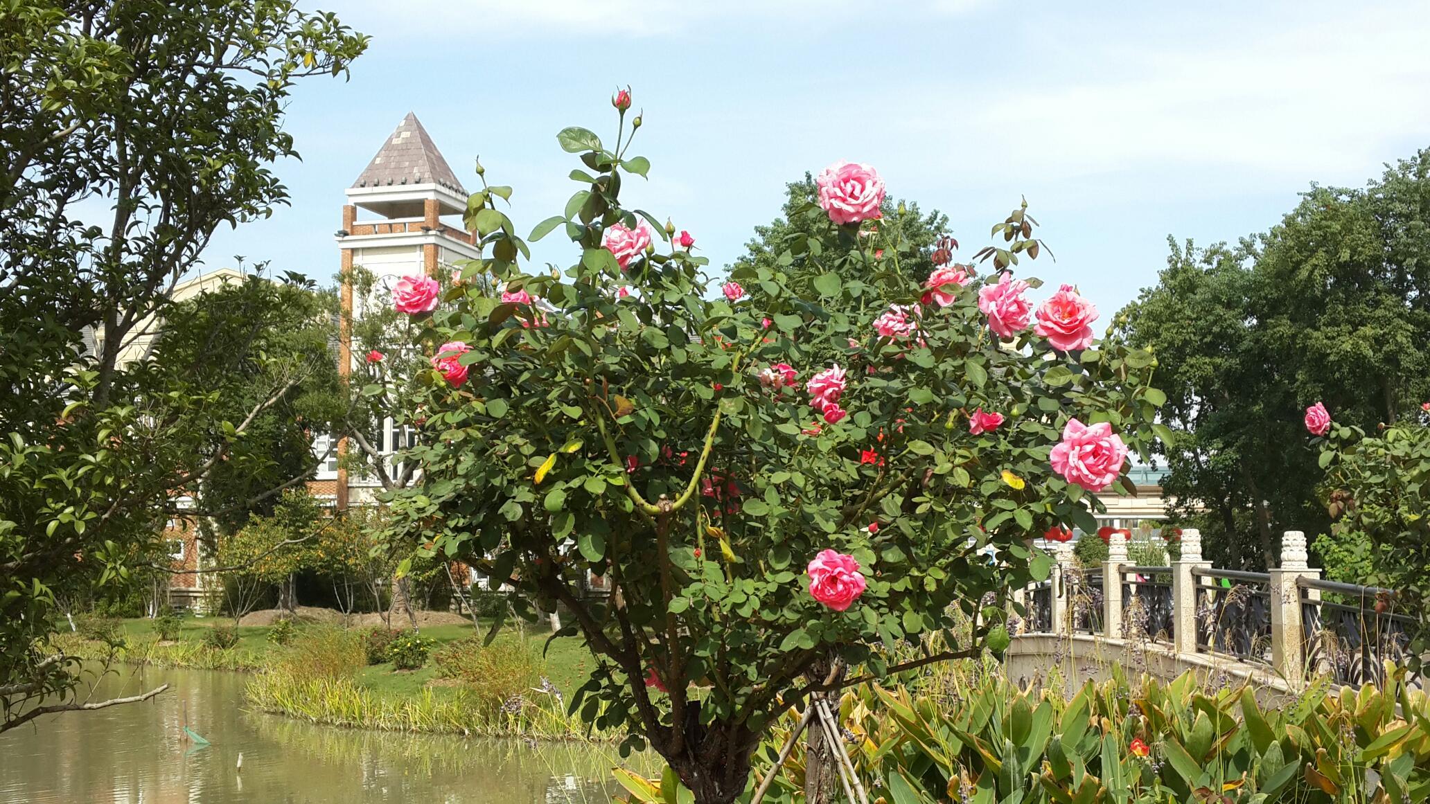 江南园林玫瑰自由壁纸-江南园林玫瑰