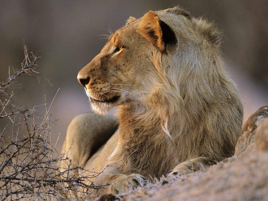 动物世界狮子母爱下