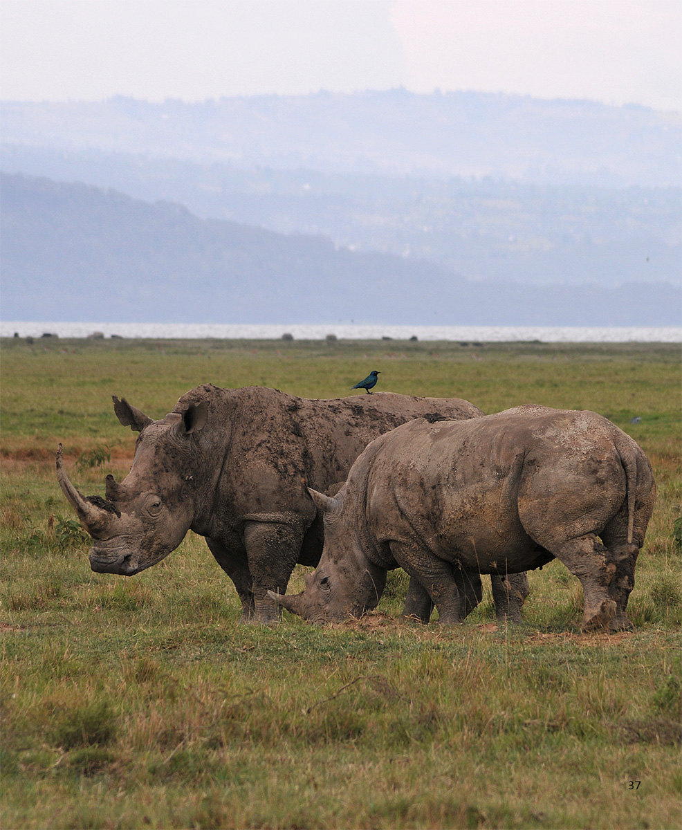 犀牛不知道跟谁打架把耳朵撕得七零八落,草原上不管谁,想养尊处优怕是
