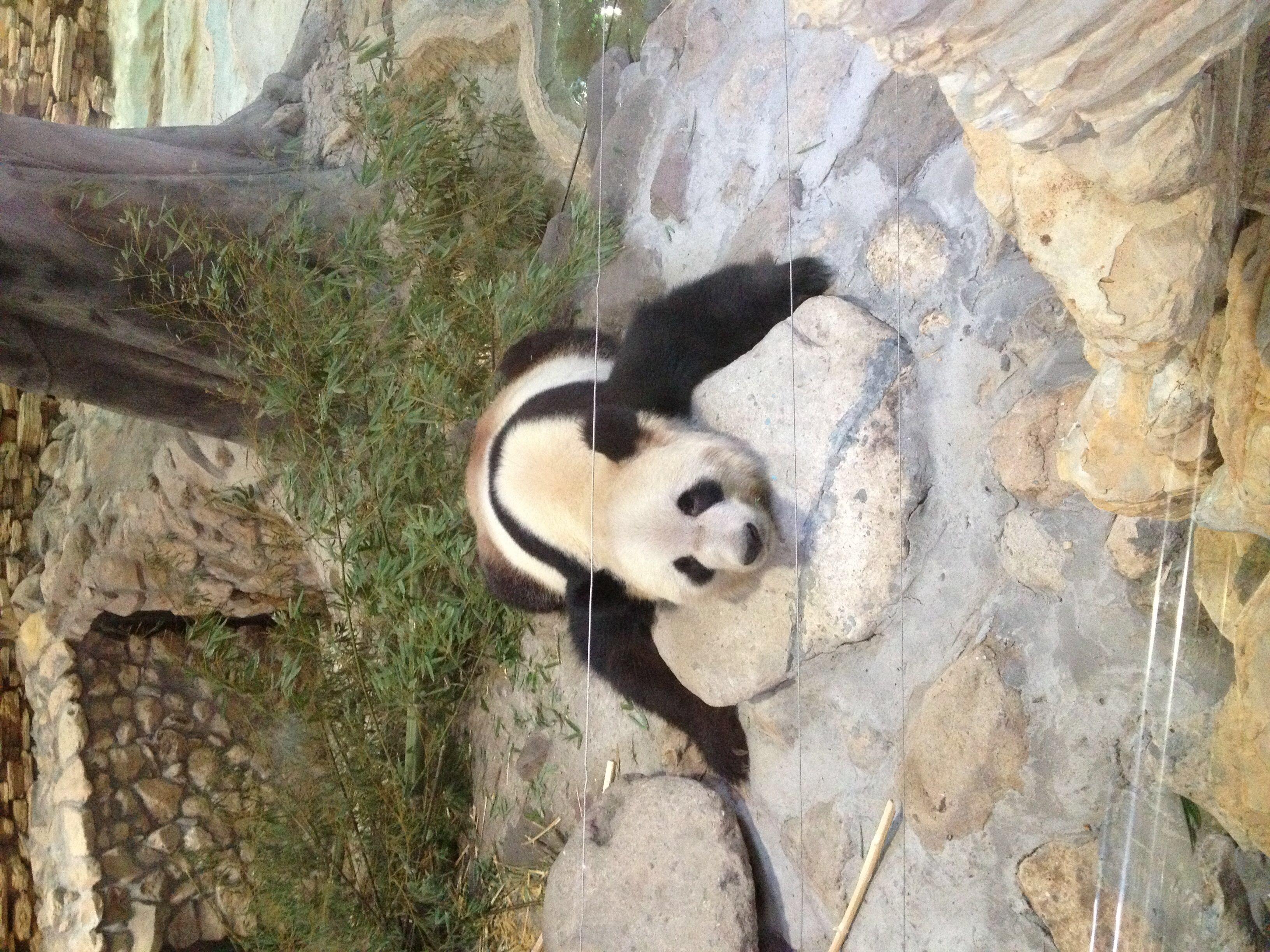 两个笨笨的大熊猫很好玩!懒懒的!