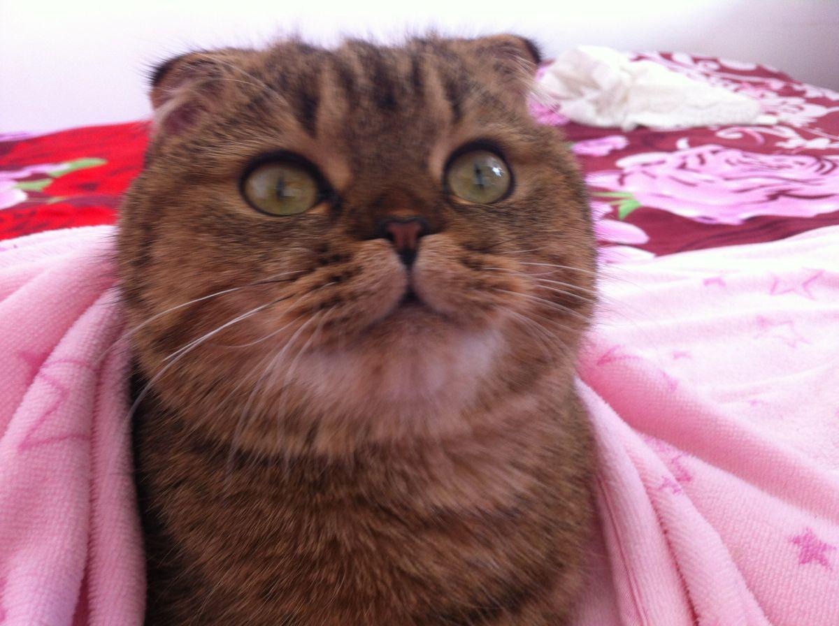 超可爱的胖猫咪图片