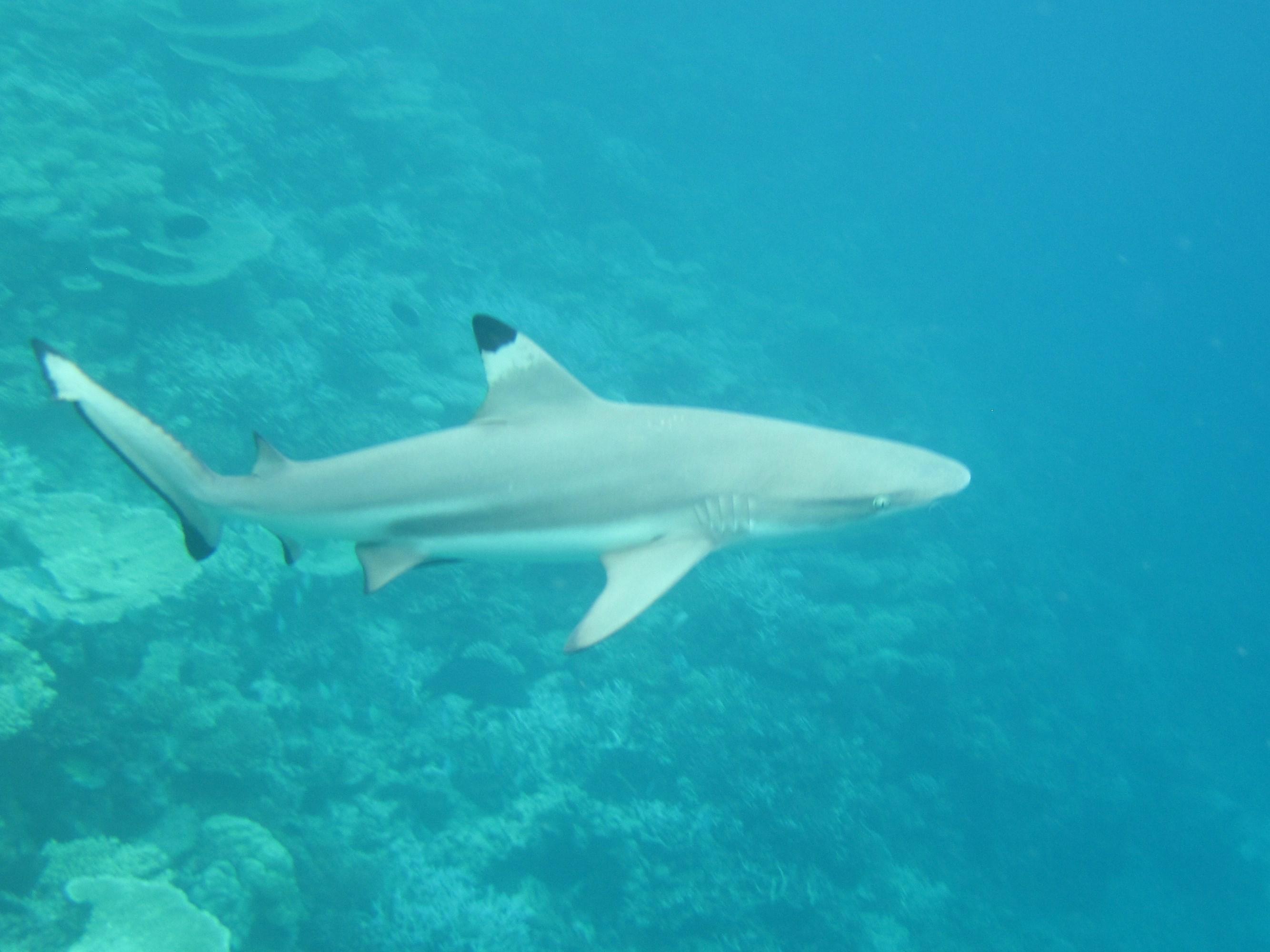 早餐8时容易看到. 游过来了.这就是最大的了. 当地人叫它柠檬鲨.