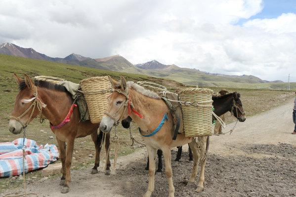 马和驴的结晶——骡子