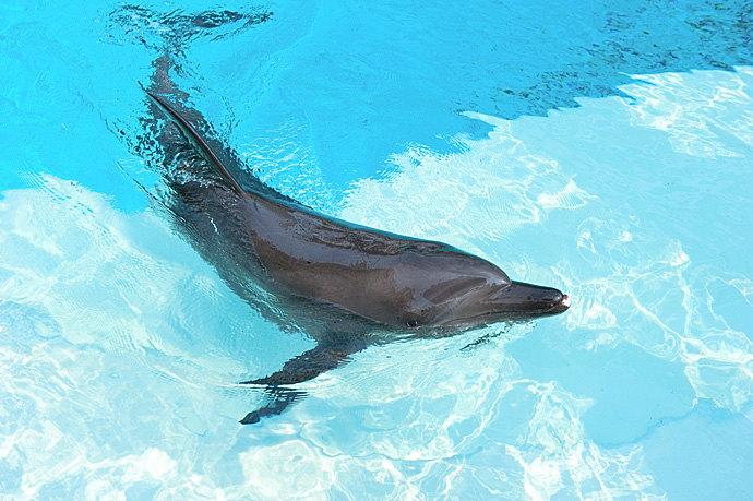1P 久闻圣淘沙名胜世界的海洋生物园是全球最大的水族世界,一直期盼可以亲临现场感受,国庆前的这趟新加坡之旅终于得以圆梦。在海洋生物园里,不只是可以透过全球最大的海洋之窗窥探神奇又美丽的海洋奇观,还可以深入万千海洋生物的缤纷世界,与各种壮观的海洋巨无霸亲密接触。本次特别到海豚园体验了与海豚近距离的亲密接触,在专业人员的陪护下,潜入水下,与美丽的海豚贴身互动、共舞嬉戏。身段矫捷、机灵可爱的印度太平洋樽鼻海豚在身边自由自在地游动嬉戏,偶尔还会恶作剧调皮一下,实在是太开心啦。第一次与海豚亲密接触,让人兴奋不已