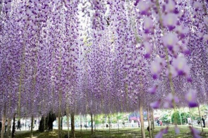 在这个时节,很多游客喜欢在紫藤花下野餐,在童话般的绝美世界中享受一