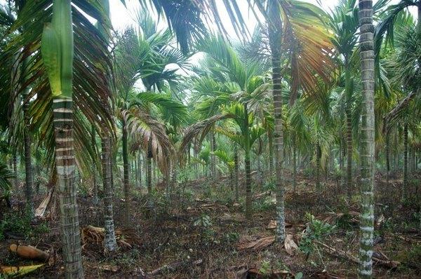 这里的青椰,这里种的椰子树都是很矮的品种,伸伸手就可以把它们摘
