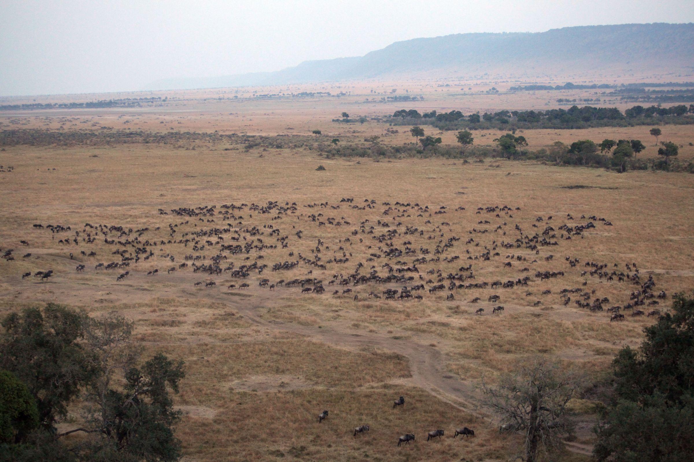 肯尼亚 动物大迁徙