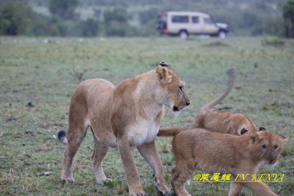 母狮带着两只小狮子在雨中走了过来