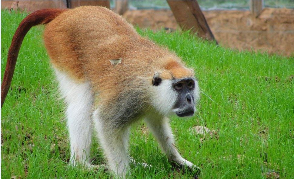 无耻之徒小屌丝, 同样都是猴子, 差距咋就这么大捏。 不得不说,比起普通的动物园那种圈养的模式,野生动物园对待这些动物实在好多了,虽然没有大自然的辽阔,但起码也是片小天地,至少可以自由驰骋,也至少可以保有作为动物的天性跟自然。 杭州野生动物园除了中国四宝外,还推出了极品系列:杭州四白白狮、白虎、白犀牛、白袋鼠。 此行的必看动物就是杭州四白, 毕竟更加稀有嘛。