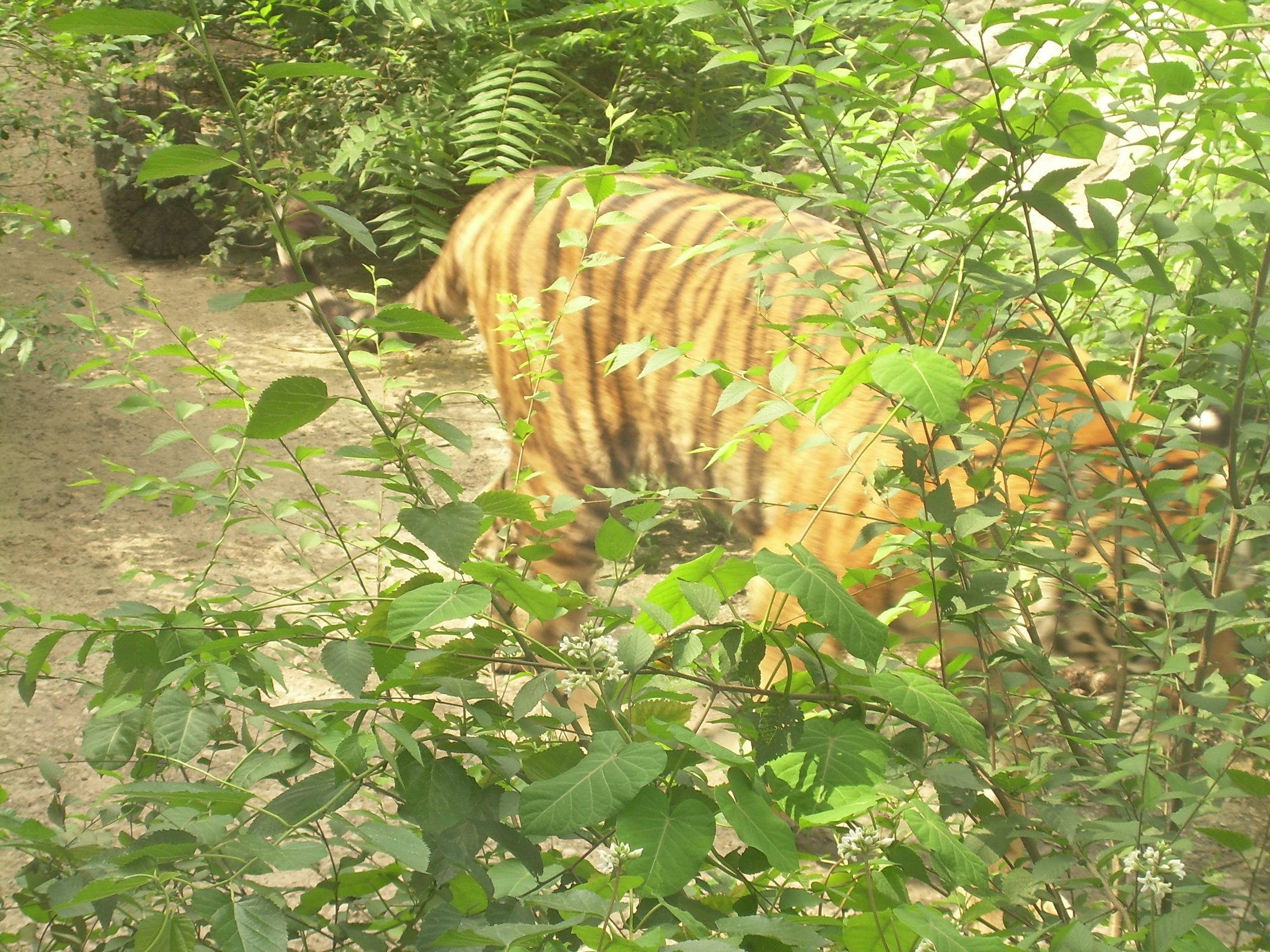 去动物园游玩,儿子要看大老虎,于是就往狮虎山出发,沿途经过一个湖,看着动物园的风景还是不错的,小花和莲花都盛开了,湖面上游来了两只优雅的天鹅(分不清是鹅还是天鹅),给湖面增加了不少美丽的色彩。一会儿到了狮虎山,去看大老虎。老虎还是挺隐蔽的,不过还是发现了它,不愧是百兽之王啊,雄健的身体,漂亮的斑纹,的确是有王者之风啊。除了普通的东北虎和华南虎,还看到了一只白虎,这个还真是少见啊!