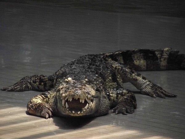 古代西方传说,鳄鱼既有凶猛残忍的一面,又有狡猾奸诈的一面.