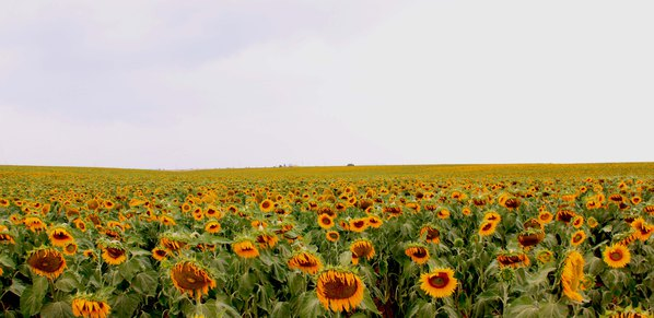 葵花朵朵向太阳-金黄色的向日葵田