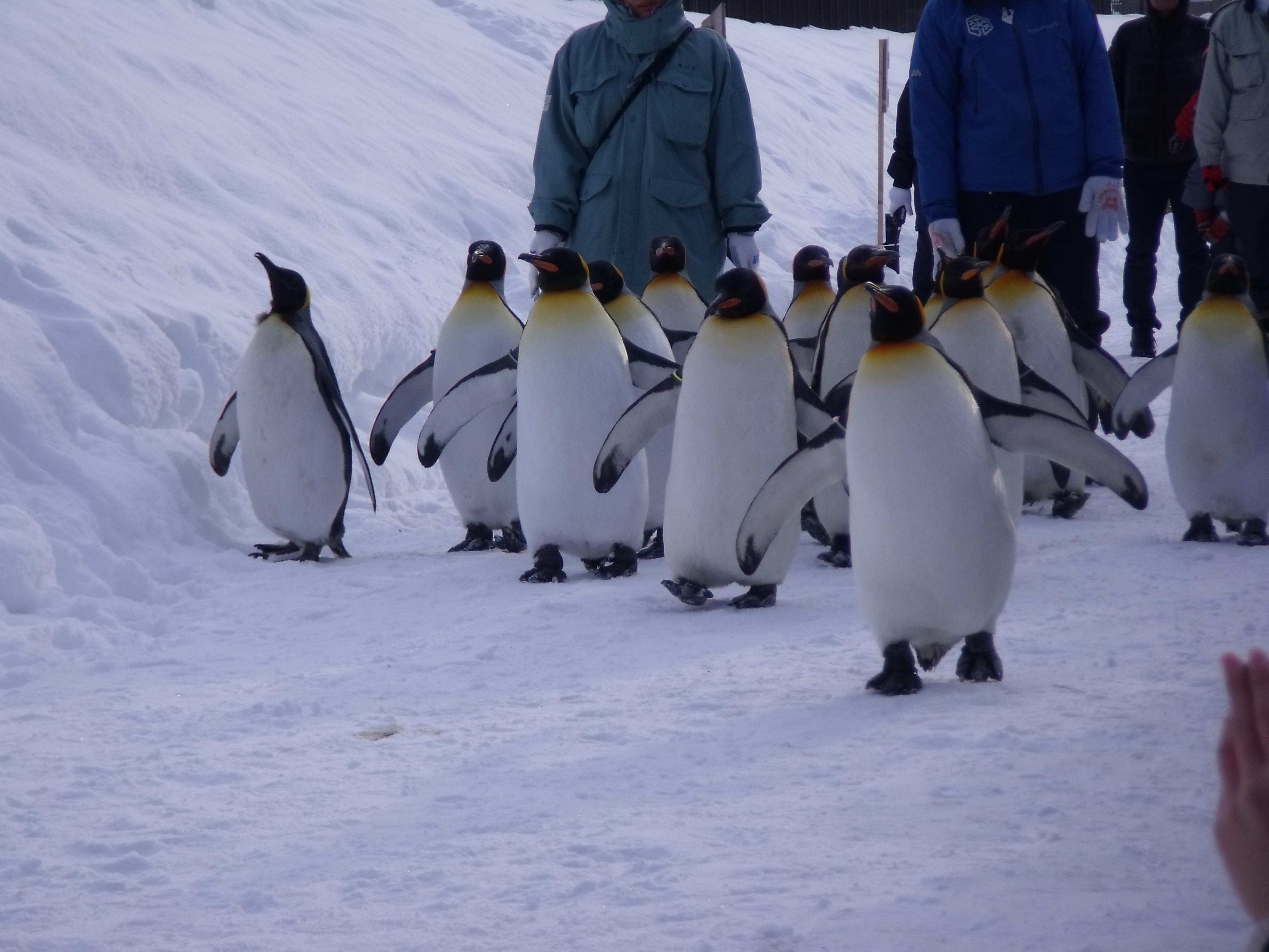 每天下午3点还有企鹅散步的活动