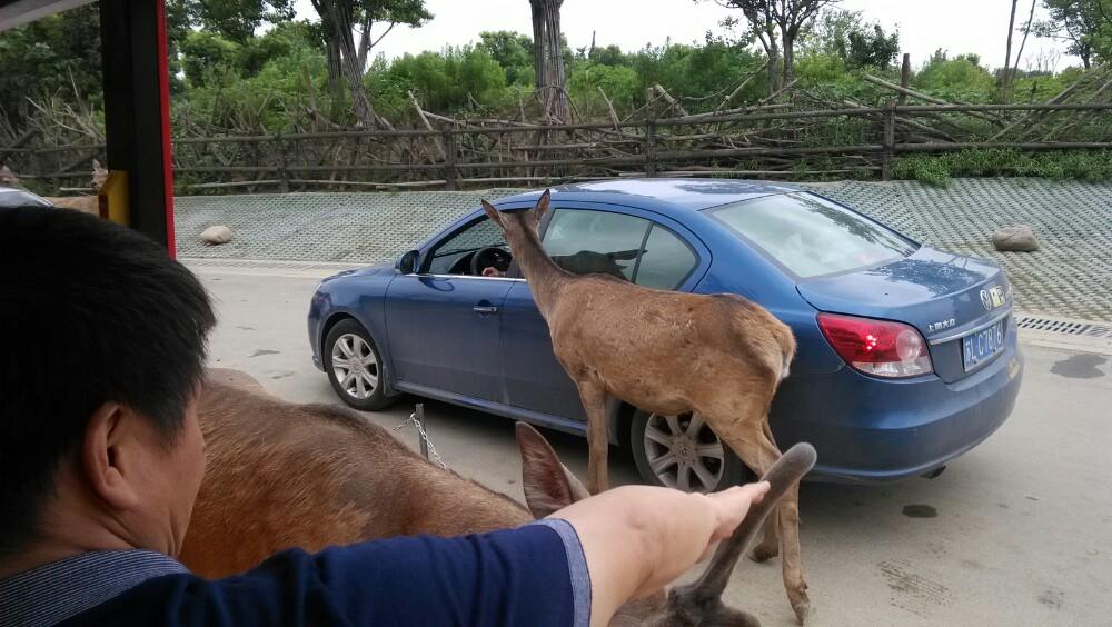 淹城野生動物世界緊鄰淹城春秋樂園,以野生動物生態散養為特色,分為步行游覽和乘車游覽(景區小火車或自駕)兩種方式,適合親子游。動物園里凶猛的動物都與游客隔河相望以確保安全,溫順的食草動物可以接觸喂食。 淹城野生動物世界內設有袋鼠館、鳥類長廊、狼谷、黑豹館、白獅館、東北虎館、孔雀苑、猩猩館、熊貓山寨、非洲獅部落等20余個動物專館。如果是步行游覽,可以從東大門入口進入,進門後向右,按逆時針方向逐個游覽。東大門也是主要的出入口,游客中心和售票處都位于這里。如果是自駕車游玩,則要從南大門自駕區入口進入,順時針方向游