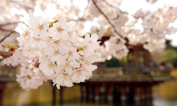 摄影小清新们的最爱,盘点日本自由行赏花胜地!