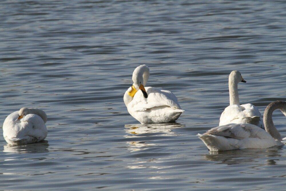 今年冬天的三门峡,又迎来了优雅翩跹的客人白天鹅,也吸引了众多摄影爱好者和来此摄影! 天鹅主要在世界上分为五类,一种是大天鹅,一种是小天鹅,还有疣鼻天鹅,黑天鹅,还有环颈天鹅。 三门峡天鹅湖里边,主要以大天鹅为主,小天鹅是比它体型略小一点,它飞行的更远,它的南迁基本上到鄱阳湖那边。另外黑天鹅,三门峡天鹅湖也有,这个是原产于澳洲,澳大利亚,它是一个外来的。在天鹅湖的生长也非常良好。还有环颈天鹅(脖子有一圈是黑色的)、疣鼻天鹅(主要是在欧洲,它的鼻子上面有一块凸起),这在三门峡这边每年零星都有! 这个保护区以
