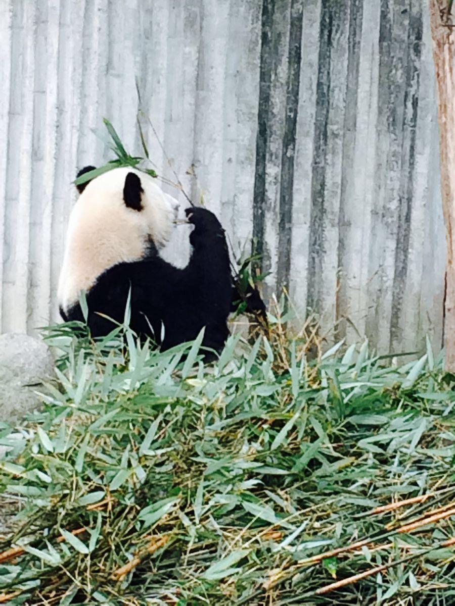 熊猫竹林矢量图