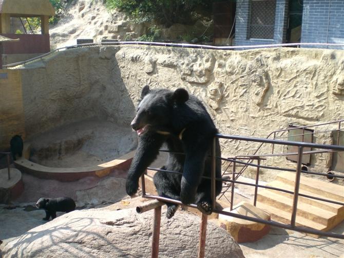 爬长城的时候去了北京八达岭熊乐园,里面有黑熊,棕熊,马来熊等熊类,熊