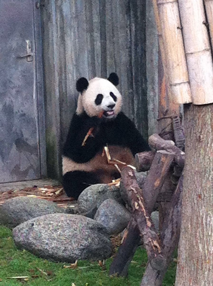 国宝大熊猫也太可爱了,憨憨的,萌萌的,也看到了一些大熊猫可爱至极的