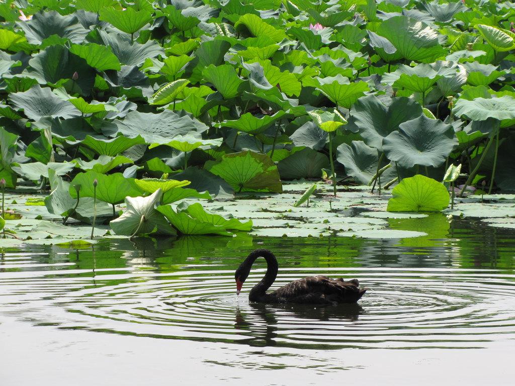 圆明园夏天的荷花塘摇橹船特色游有意境